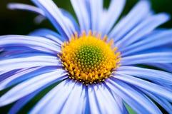 Camomila azul Imagens de Stock