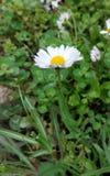 A camomila bonita cheira boa Flor pequena na grama grande fotografia de stock