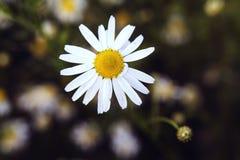 Camomila branca Imagem de Stock