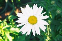 Camomila branca em um fundo natural Fotografia de Stock Royalty Free