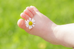 A camomila branca está entre os dedos do pé do pé da criança Fotografia de Stock