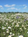 Camomila branca no prado, Lituânia Fotos de Stock Royalty Free