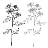 Camomila Cole??o de flores e de plantas tiradas m?o botany jogo Flores do vintage Ilustração preto e branco dentro ilustração royalty free