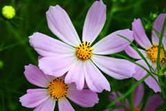 Camomila colorida com as pétalas delicadas sob a iluminação macia Fotografia de Stock Royalty Free