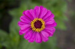 camomila Cor-de-rosa-e-amarela Fotografia de Stock
