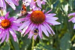 A camomila cor-de-rosa listrou o zangão e uma borboleta da cor do chocolate foto de stock