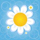 Camomila da flor Foto de Stock Royalty Free