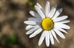 Camomila da flor do verão Imagens de Stock Royalty Free
