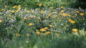 A camomila da picareta do homem novo floresce no gramado ensolarado com camomilas e dentes-de-leão Tiro do close-up video estoque