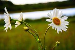 camomila da planta medicinal Imagens de Stock Royalty Free