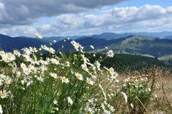 Camomila de florescência nas montanhas fotografia de stock royalty free