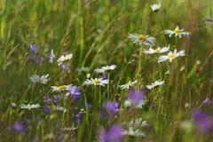 Camomila do prado Foto de Stock