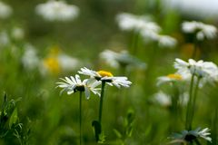 Camomila do prado Fundos naturais abstratos Fotos de Stock Royalty Free