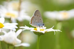 Camomila e borboleta Imagem de Stock Royalty Free