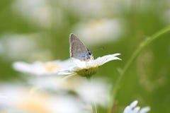 Camomila e borboleta Fotos de Stock Royalty Free
