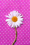 Camomila em uma textura cor-de-rosa pontilhada polca Foto de Stock