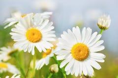 Camomila entre flores Imagem de Stock
