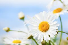 Camomila entre flores Foto de Stock Royalty Free