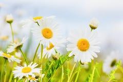 Camomila entre flores Imagens de Stock Royalty Free