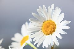 Camomila entre flores Fotografia de Stock Royalty Free