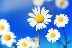 Camomila entre flores Fotografia de Stock