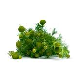 Camomila, ervas medicinais Foto de Stock Royalty Free