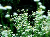 Camomila a flor do deus de Sun foto de stock