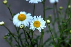 Camomila Flor selvagem Fotos de Stock Royalty Free