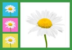A camomila floresce a composição Imagens de Stock Royalty Free