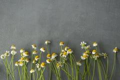 A camomila floresce em seguido em um fundo concreto Imagens de Stock Royalty Free