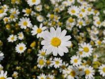 Camomila na flor completa fotos de stock royalty free
