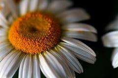 Camomila no fundo preto Fundo abstrato floral Imagem de Stock Royalty Free