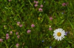 camomila no prado da flor Fotografia de Stock Royalty Free