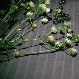 Camomila pequena como a inspiração botânica Fotos de Stock
