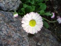 Camomila perto da pedra cinzenta Fotografia de Stock