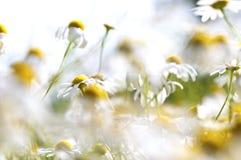 Camomila, prado do verão Foto de Stock Royalty Free