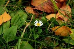 Camomila sozinha Imagem de Stock Royalty Free