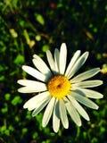 Camomila sozinha Imagem de Stock
