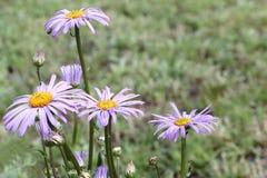 Camomilas azuis em um jardim Fotografia de Stock