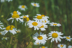 Camomilas bonitas que crescem no campo Imagem de Stock