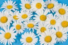 Camomilas brancas escassas fotografia de stock