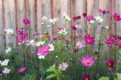 Camomilas coloridas Fotografia de Stock Royalty Free
