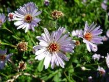Camomilas e ásteres lilás no fundo das hortaliças imagens de stock royalty free