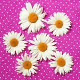 Camomilas em uma textura cor-de-rosa pontilhada polca Fotografia de Stock