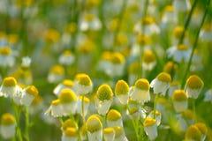 Camomilas no campo de trigo verde Imagens de Stock