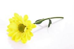 camomile άσπρος κίτρινος Στοκ Φωτογραφία