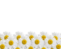 camomile ανασκόπησης απομόνωσε το λευκό Στοκ φωτογραφία με δικαίωμα ελεύθερης χρήσης