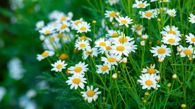 camomile ανασκόπησης λουλούδι πεδίων πράσινο Στοκ φωτογραφίες με δικαίωμα ελεύθερης χρήσης