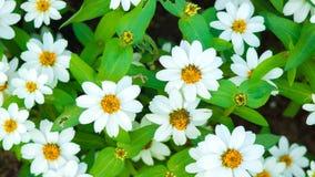 camomile ανασκόπησης λουλούδι πεδίων πράσινο Στοκ Εικόνες
