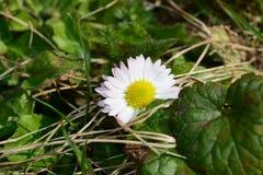camomile ανασκόπησης λουλούδι πεδίων πράσινο Στοκ Εικόνα
